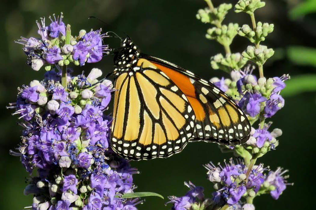 A monarch butterfly samples flowers in this undated photo taken at the Nature Conservancy's Torrance Ranch Preserve, 125 miles northwest of Las Vegas. Migrating monarchs should be visible around S ...