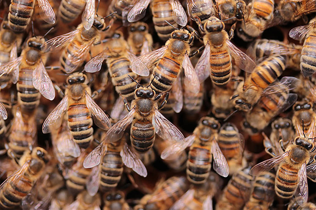 Special to Pahrump Valley Times  The fire department reported there's a real possibility that a permanent nest of bees is located close to a bee swarm. Pahrump Valley Fire and Rescue Chief Scott ...