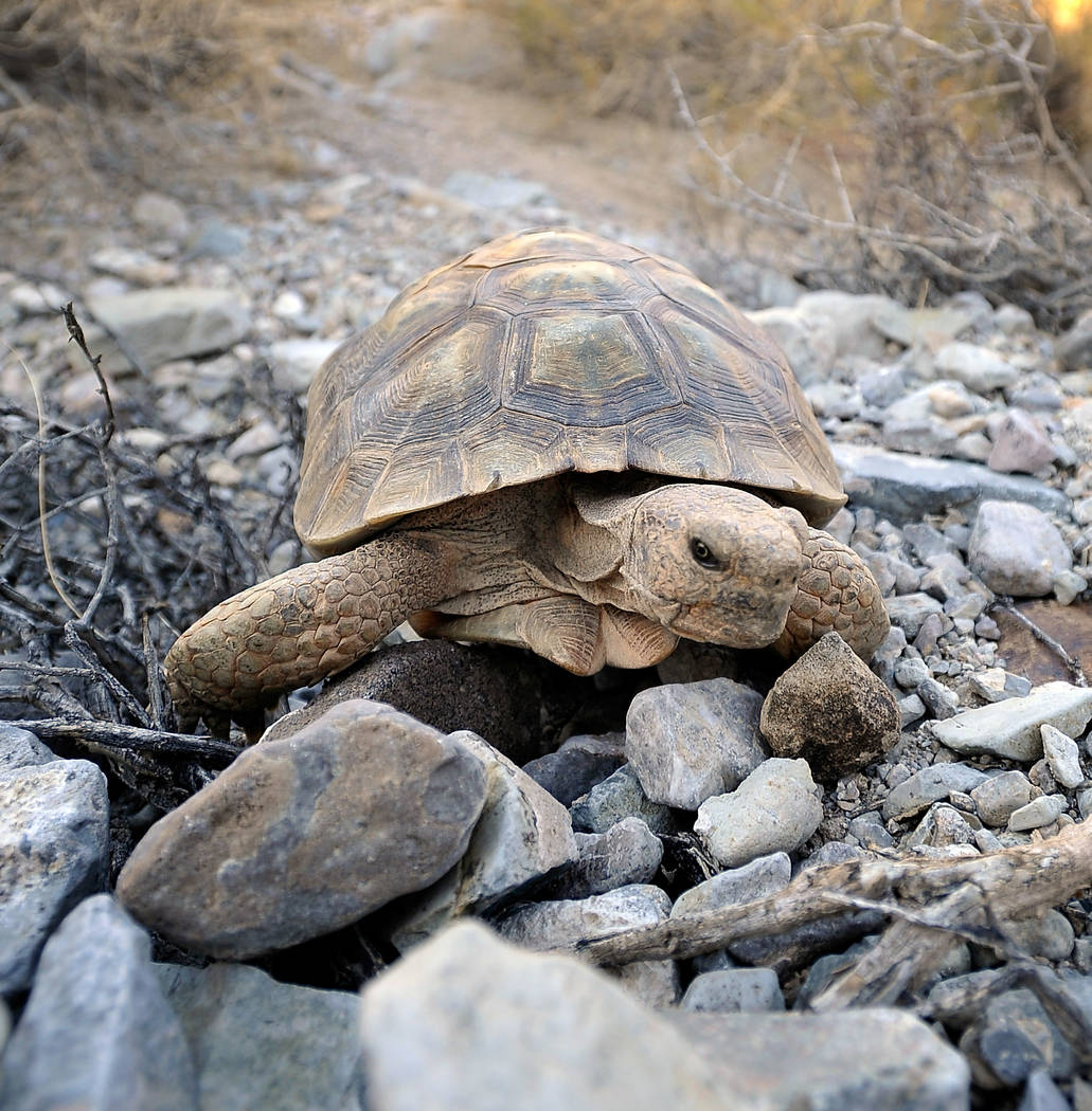 A desert tortoise crawls free after being released into the desert near Primm on Friday, Oct. 10, 2014. The Desert Tortoises Conservation Center which housed the tortoise, relocated its final 53 t ...