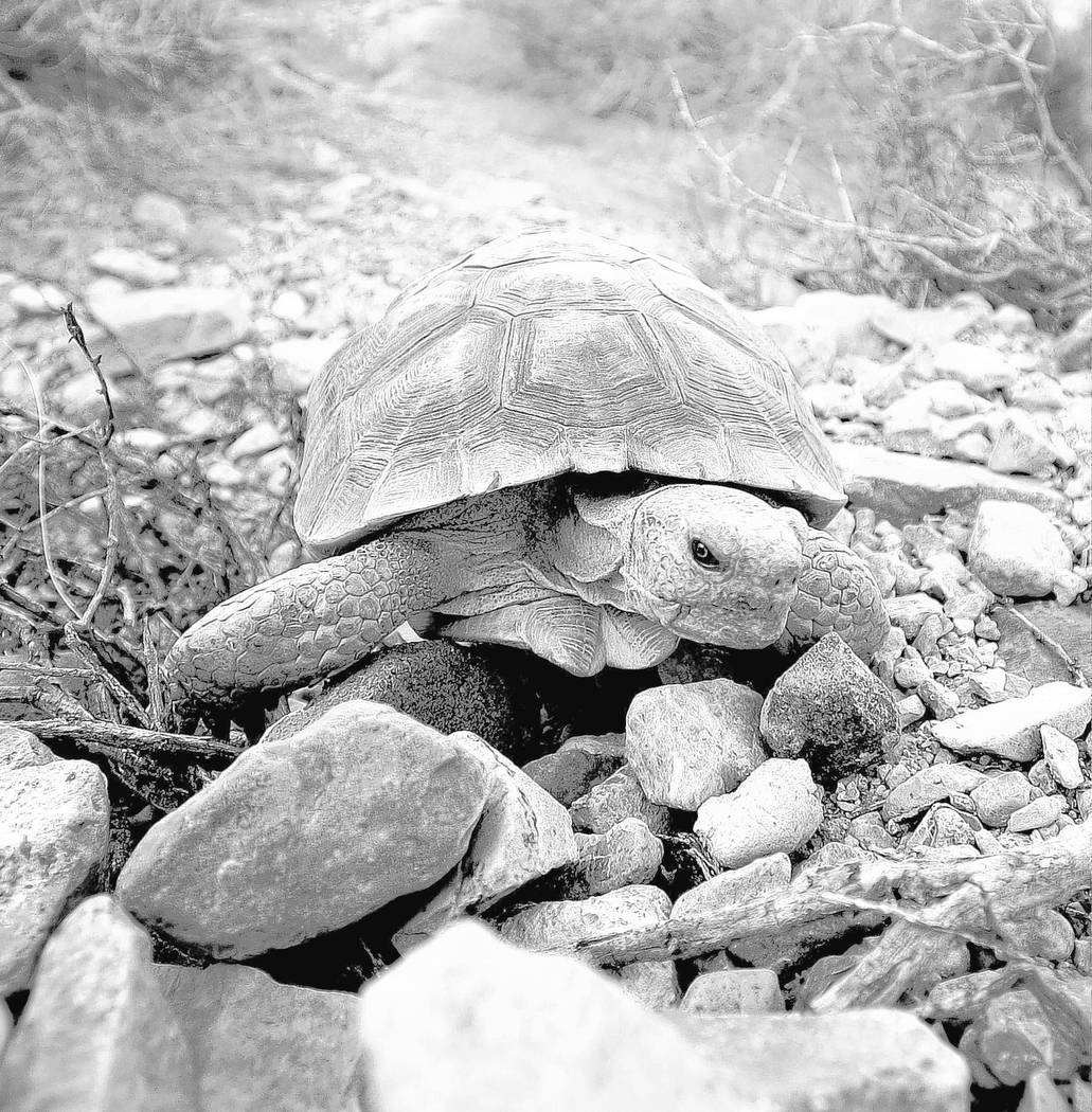 David Becker/Las Vegas Review-Journal A desert tortoise crawls free after being released into the desert near Primm on Friday, Oct. 10, 2014. The Desert Tortoises Conservation Center which housed  ...