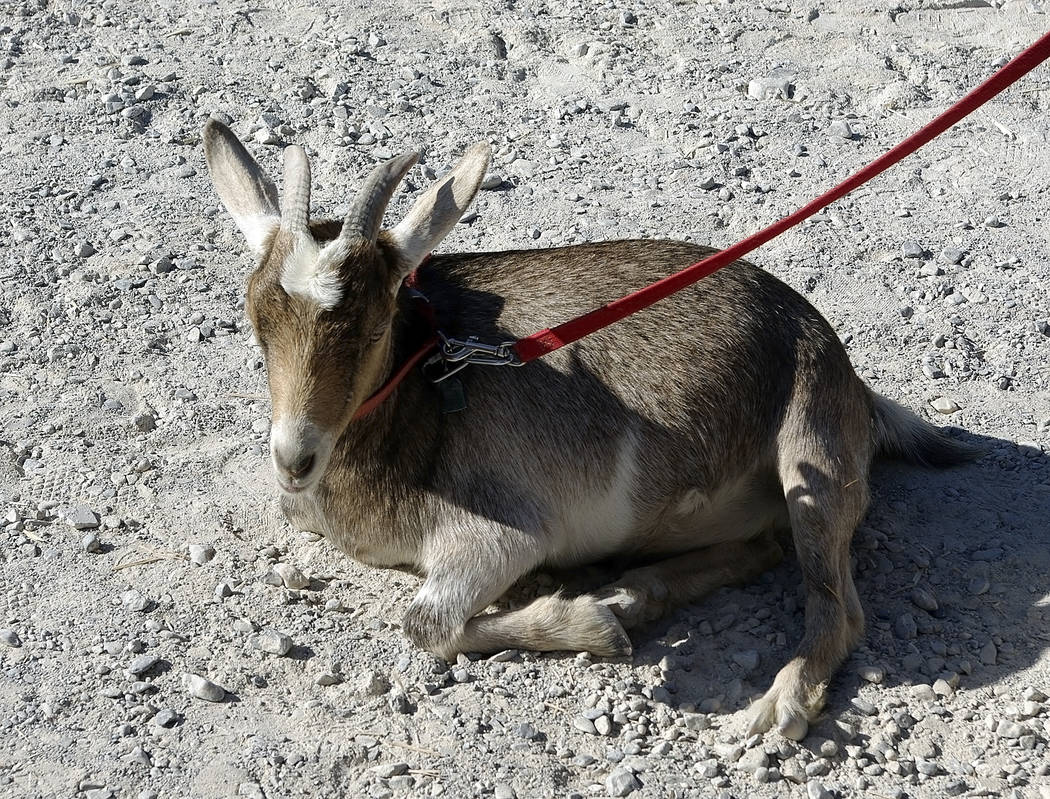 Horace Langford Jr./Pahrump Valley Times -  Bambi the goat was with Dr. Walt Cosdon for nine years. She passed away on June 3.