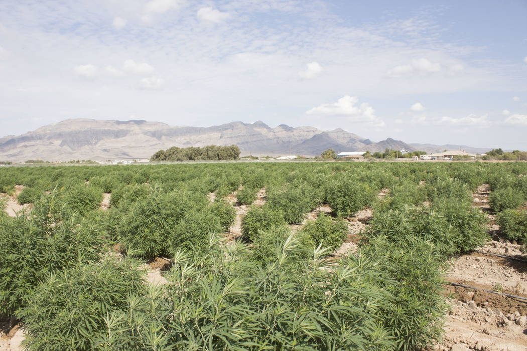 Jeffrey Meehan/Pahrump Valley Times The 10-acre industrial hemp farm at Harris Farm and Blagg roads, which is pegged to see its first harvest in mid-September. The farm is owned and operated by Da ...