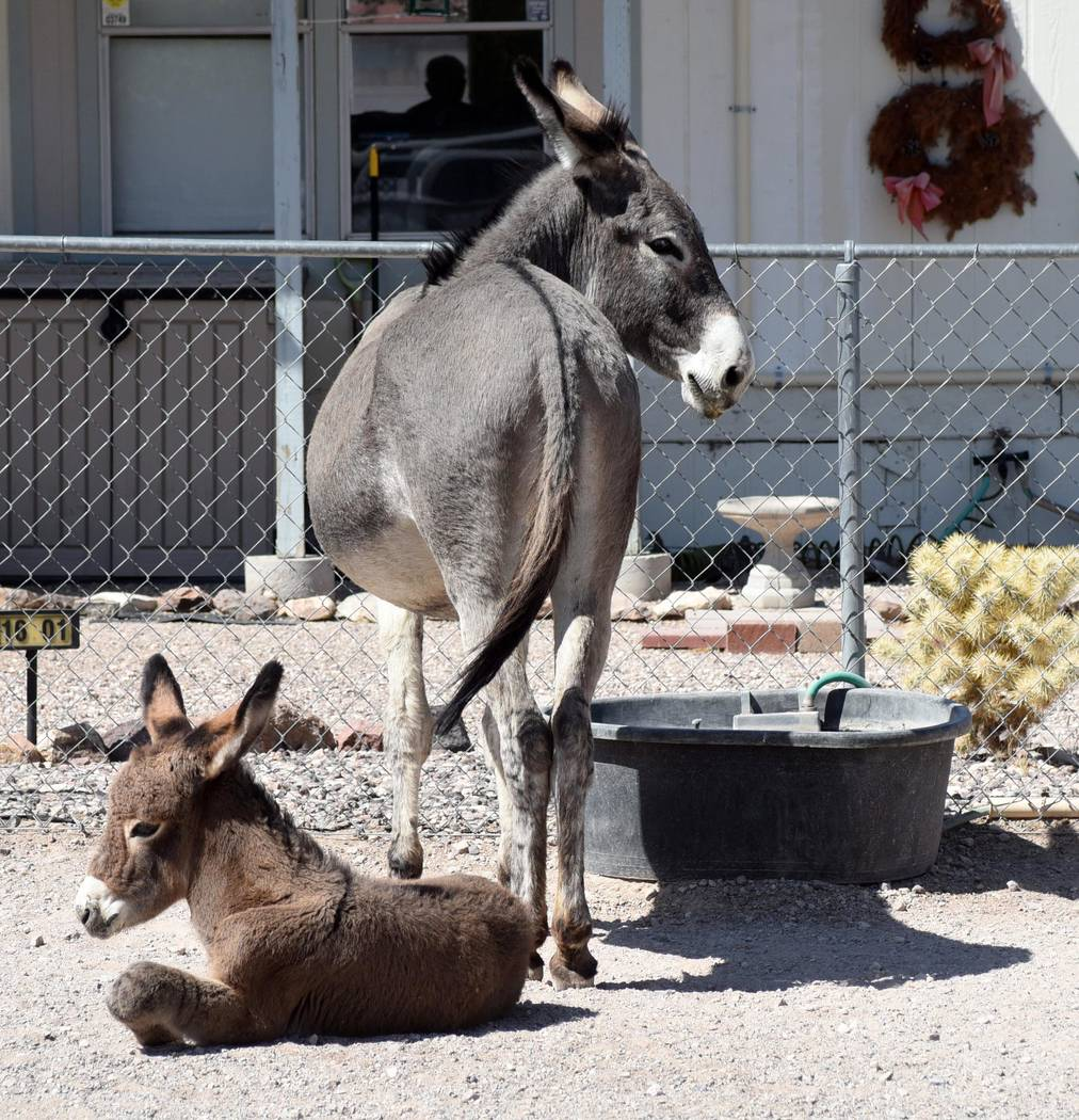 Richard Beatty/Special to the Pahrump Valley Times A burro drinks out of a tub put out by a Beatty resident.