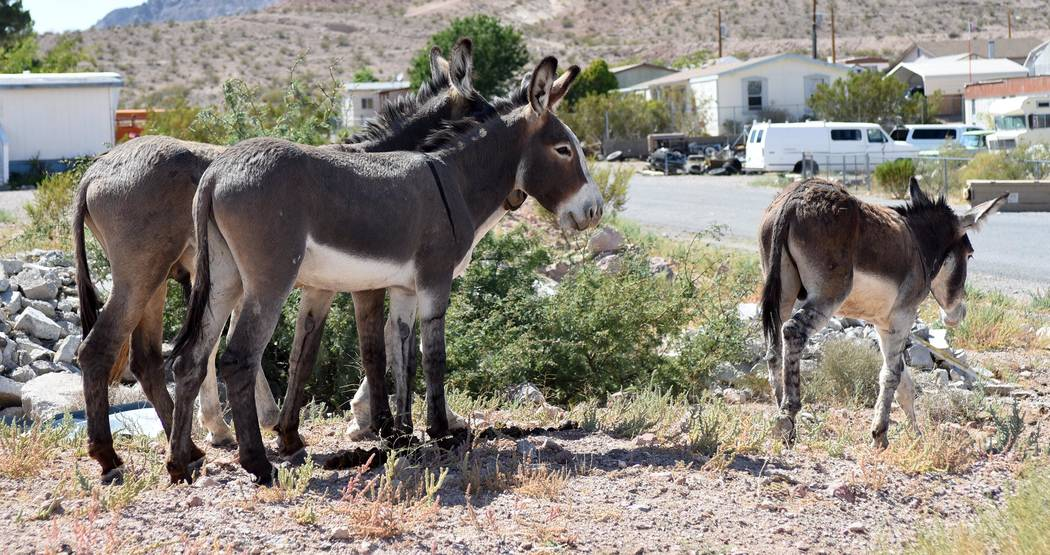 Richard Beatty/Special to the Pahrump Valley Times Burros stand alongside the road in Beatty.
