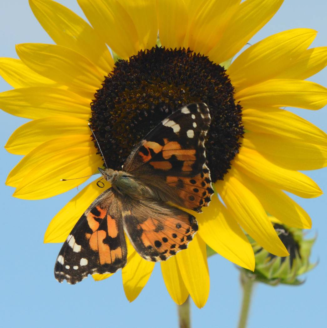 Richard Stephens/Special to the Pahrump Valley Times A painted lady butterfly finds a landing spot on a sunflower in the Beatty community. The sunflower was in a local yard.