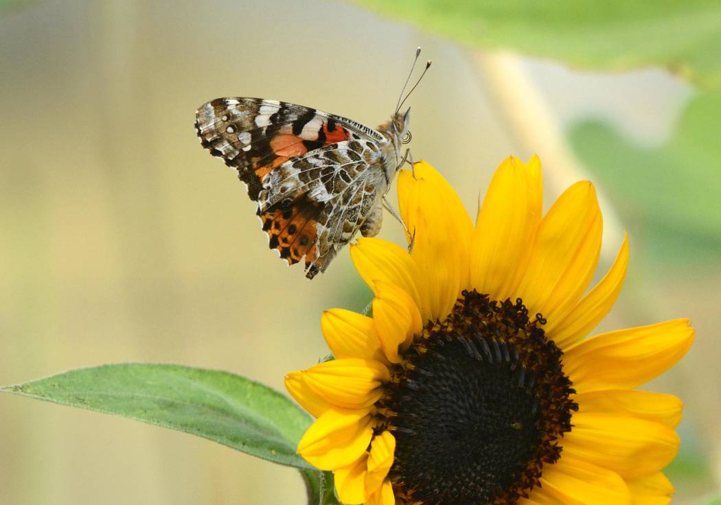 Richard Stephens/Special to the Pahrump Valley Times A painted lady butterfly as seen in Beatty recently. The sunflower landed on a sunflower in a yard.