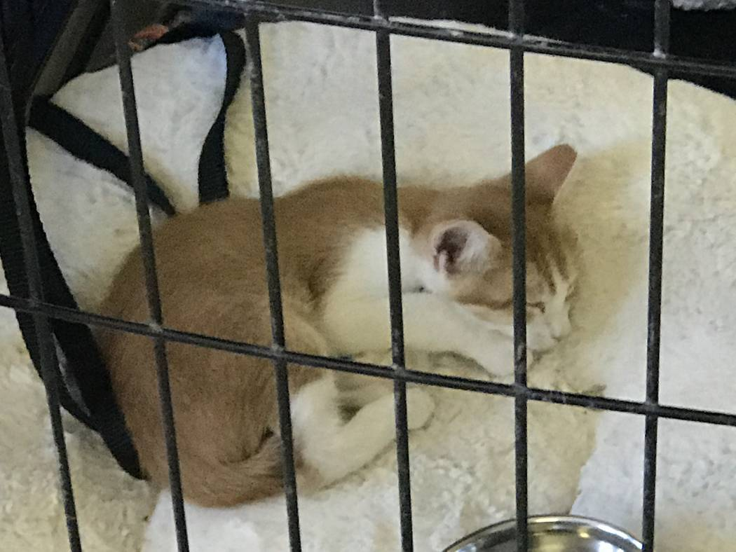 Jeffrey Meehan/Pahrump Valley Times A kitten waits for someone to adopt him from Thrifty Paws at 2031 E. Gamebird Road. The shop is headed by a local organization, Pets are Worth Saving, which tri ...