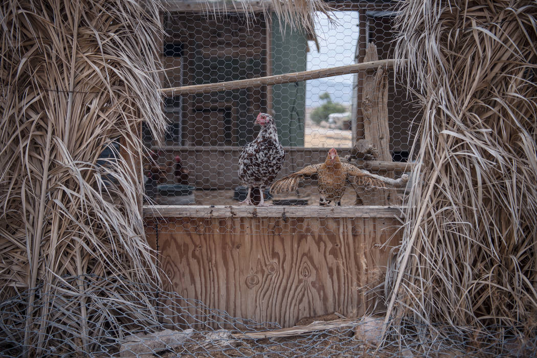 Tecopa chickens on Tuesday, July 25, 2017, in Tecopa, California. (Morgan Lieberman/Las Vegas Review-Journal)