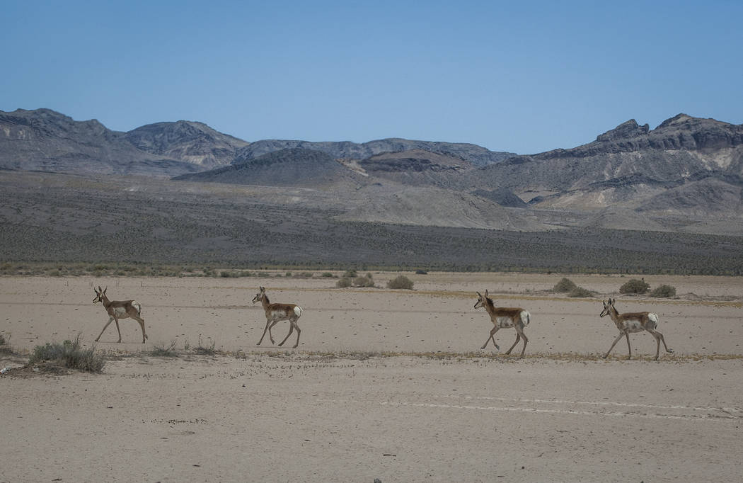 Patrick Connolly/Las Vegas Review-Journal Pronghorn antelope run across a dry lakebed at the Nevada Test and Training Range on Sunday, May 21, 2017.