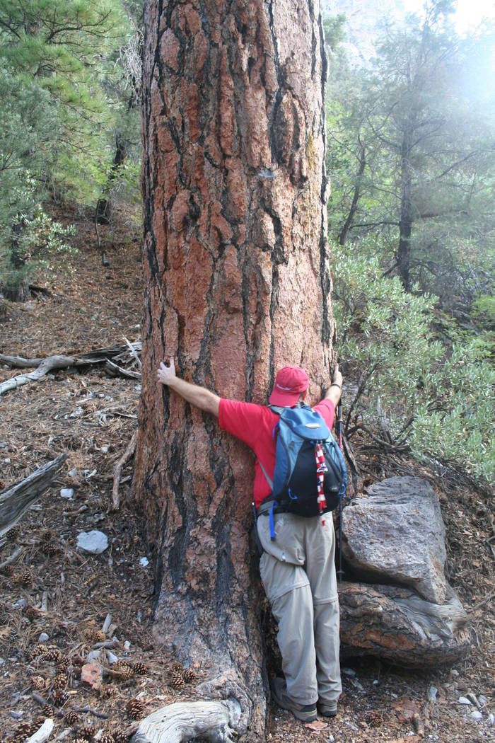 """Special to the Pahrump Valley Times A 6-foot tall """"tree hugger"""" of a large Ponderosa pine along the Fletcher Canyon trail."""