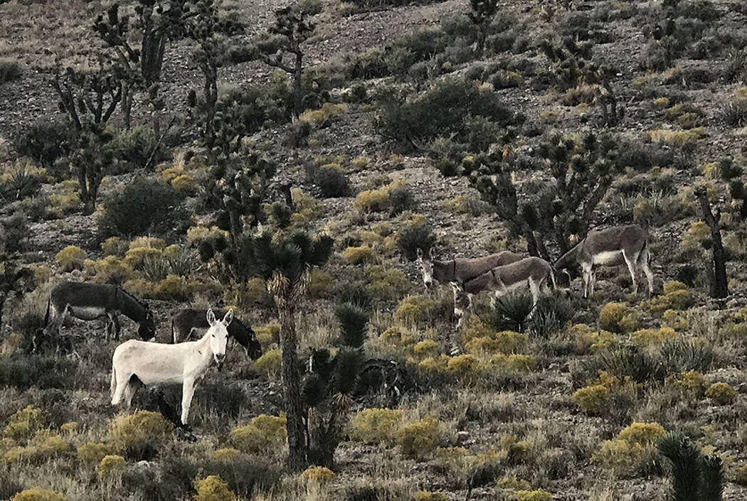 A rare all-white burro stares down from a hillside along Kyle Canyon Road. (Henry Brean/Las Vegas Review-Journal)