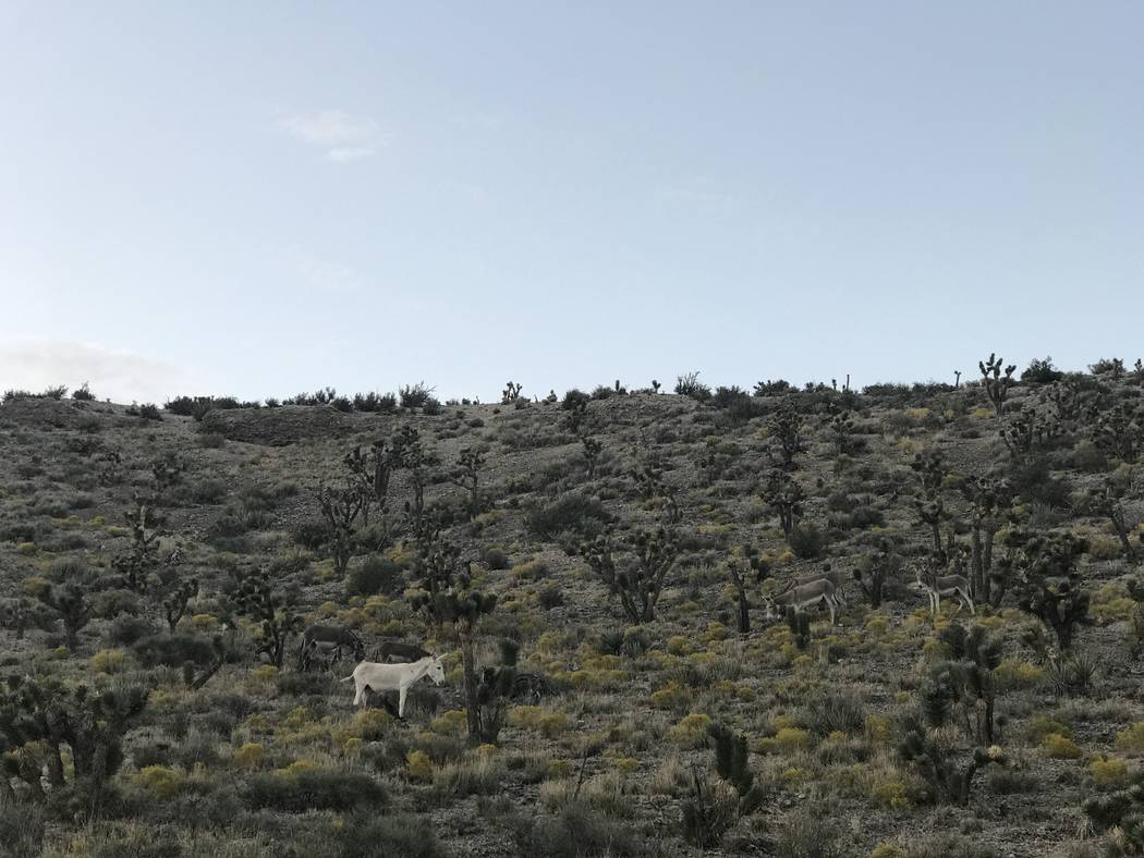 A group of six wild burros blends into the landscape along Kyle Canyon Road -- all except one rare, all-white animal. (Henry Brean/Las Vegas Review Journal)