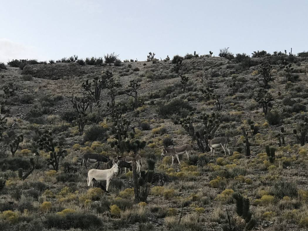 A rare all-white burro stares down from a hillside along Kyle Canyon Road. (Henry Brean/Las Vegas Review Journal)
