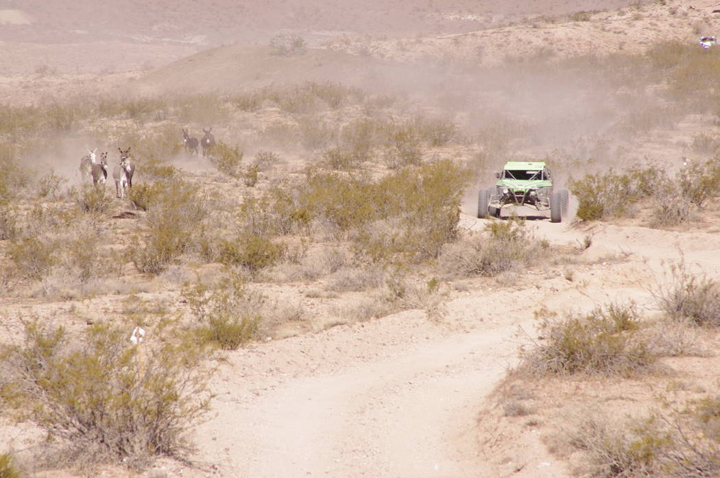 Vern Hee/Pahrump Valley Times  You won't see this at NASCAR! This SNORE driver probably thought there should have been a caution flag thrown as he found himself stuck in traffic - a burro herd d ...