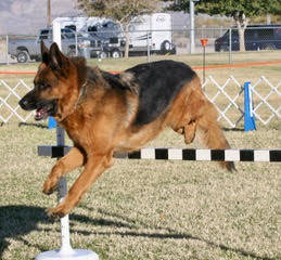 Mary Foley/Special to the Pahrump Valley Times Kaiser Murray (aka Kaiser v Bullinger) jumps over a hurdle at the 10th Annual Obedience & Rally Trials, held Oct. 27-29. Kaiser if owned by Kathy ...