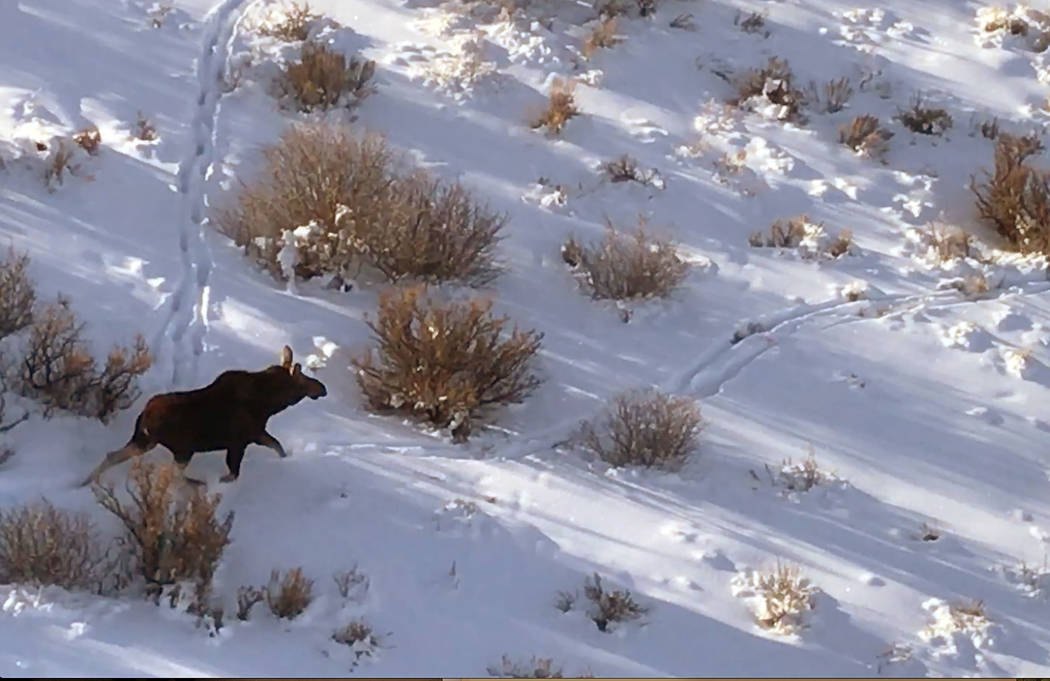 A screenshot from a video provided by Nevada Department of Wildlife shows  a moose runs through snowy North Nevada in footage shot from a helicopter in January. Nevada Department of Wildlife