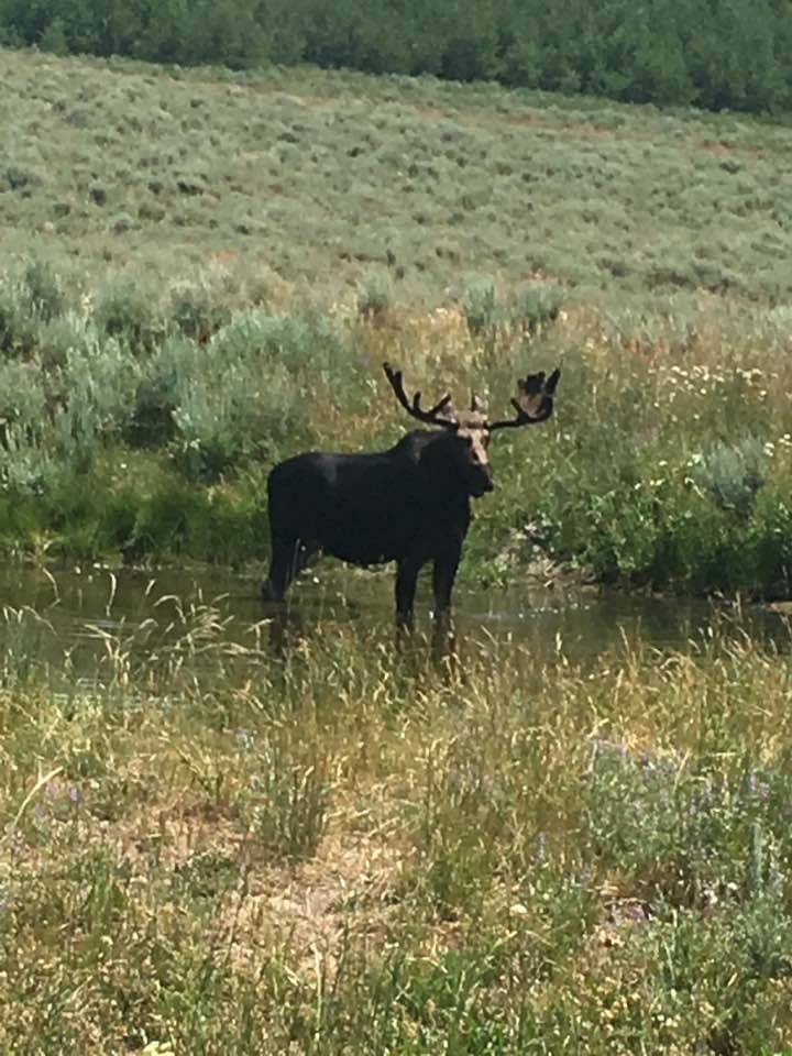 A bull moose stands in the water in Northern Nevada. Nevada Department of Wildlife