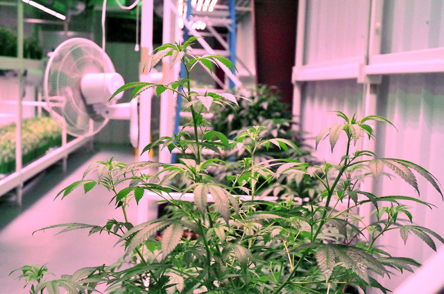 Marijuana plants being grown in a cultivation facility in Pahrump. Although recreational marijuana became legal in Nevada on Jan. 1, the process for retail sales may not be in place until the begi ...