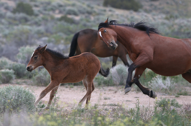 The Bureau of Land Management is scheduled to begin a gathering of wild horses from the Reveille Herd Management Area and surrounding Reveille Allotment near Tonopah, according to a press release. ...