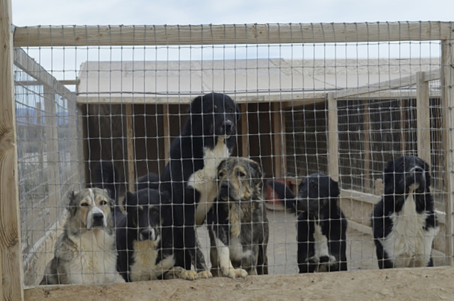 The Nye County District Attorney's Office could be forced to step in to find housing for over 100 dogs that are currently housed in a kennel on the southern end of Pahrump. A request for a condi ...