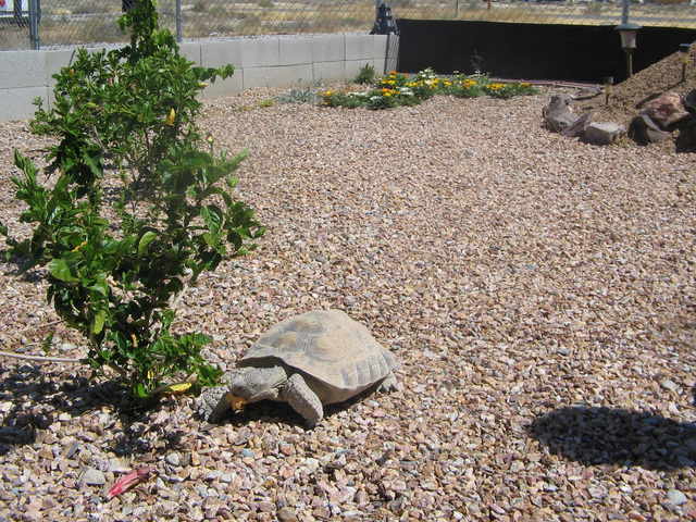 Shelly, a Mojave desert tortoise believed to be in her 20's, makes her way around the enclosed habitat in the backyard of Heidi Hill and Jerry Foster. Brenda M. Klinger/Special to the Pahrump Vall ...