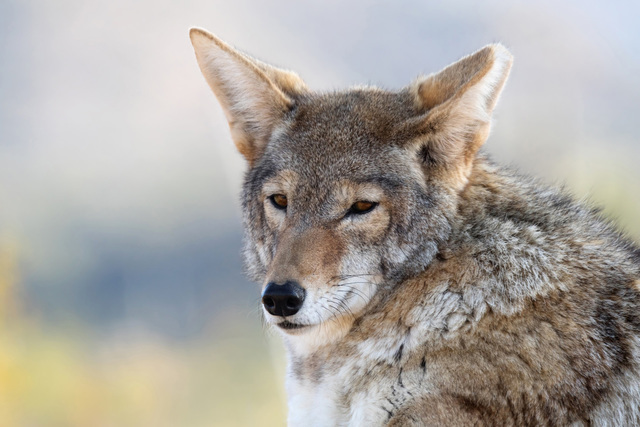 The Southern Paiute have a rich tradition of storytelling centered around a trickster Coyote, who also shows up in stories from most other native North American tribes. Courtesy Photo
