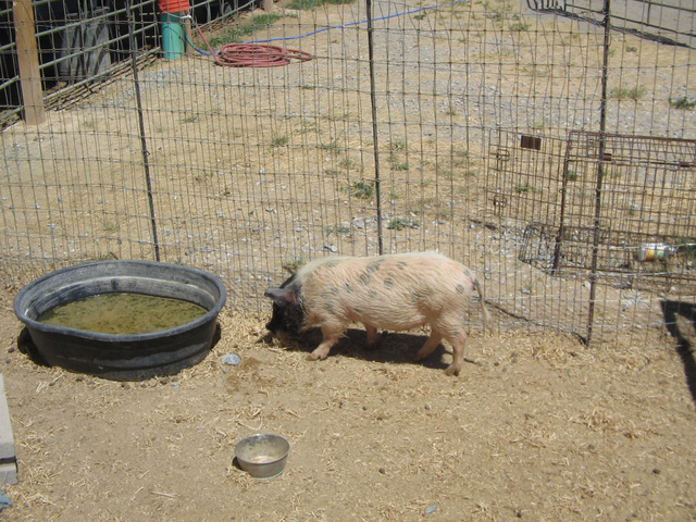 Char, a young miniature pot-bellied pig is a registered emotional support animal  and is part of RNG Farm's program, along with therapy horses to help individuals with special needs. Brenda M. Kli ...