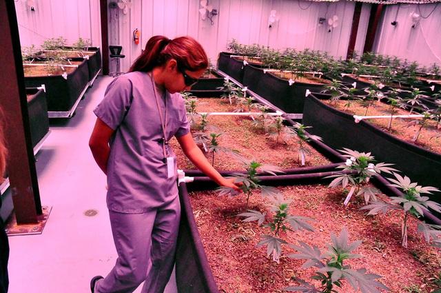 Kouanin Villa, office manager at Green Life Productions checks medical marijuana plants that grow inside the facility. Green Life Productions is one of four medical marijuana businesses that opene ...