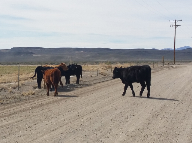 Cattle are shown on a road earlier this year in rural Nye County. Open grazing concerns are being raised as Tonopah considers an annexation proposal that would increase the town's boundaries.  D ...