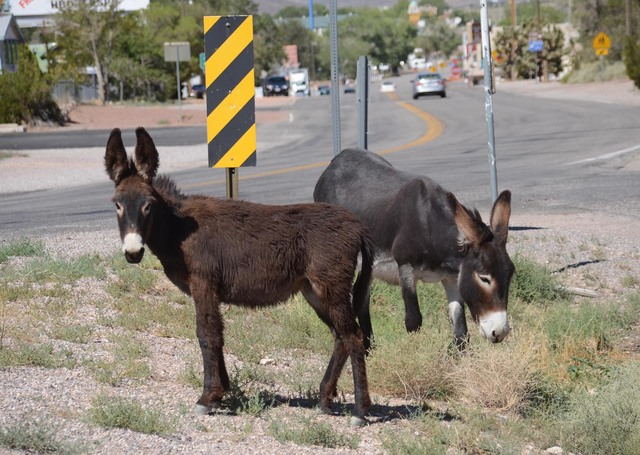 Motorists should watch out for wild horses and burros along roadways due to the coming end of daylight saving time bringing earlier darkness and lower visibility.  Special to the Pahrump Valley Times
