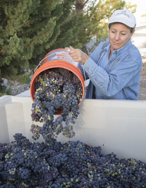 Winemaker Gretchen Loken dumps a bucket of red zinfandel grapes into a crate ready for transport during a grape harvest at the Pahrump Valley Winery in Pahrump, Nev., Thursday, Aug. 11, 2016. Rich ...