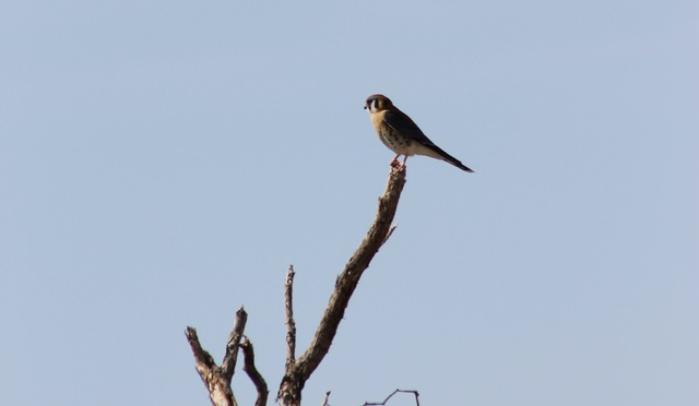 An American kestrel perches on a branch in Furnace Creek Campground in Death Valley National Park. The park is looking for volunteers to participate in several volunteer events over the holidays,  ...