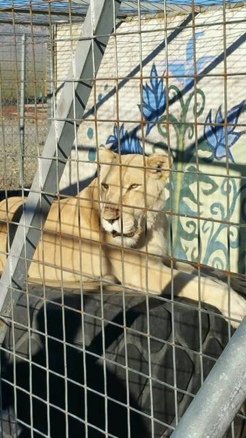 One of the lions that were among the multiple exotic animals found living in deplorable conditions at Pahrump home.   Special to the Pahrump Valley Times