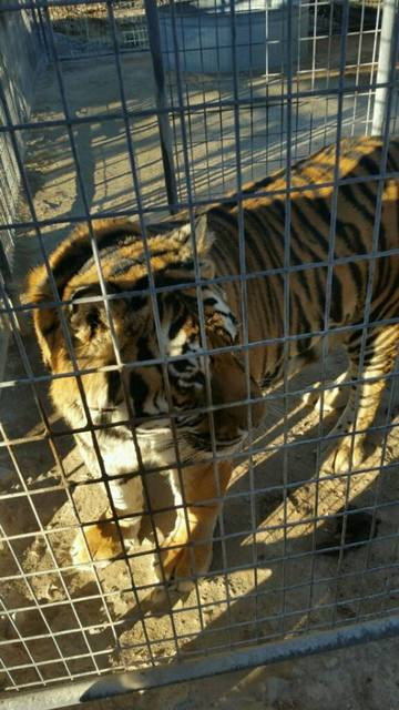 A tiger among multiple exotic animals found living in deplorable conditions at Pahrump home.   Special to the Pahrump Valley Times