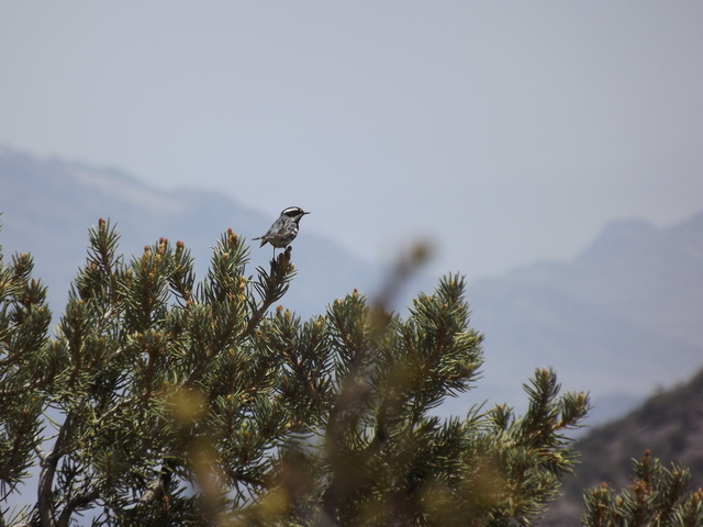 A black-throated gray warbler sits on a pinyon pine in Mahogany Flat Campground in Death Valley National Park. The annual Christmas Bird Count is Dec. 30.  Peter Treuherz/Courtesy of National Park ...