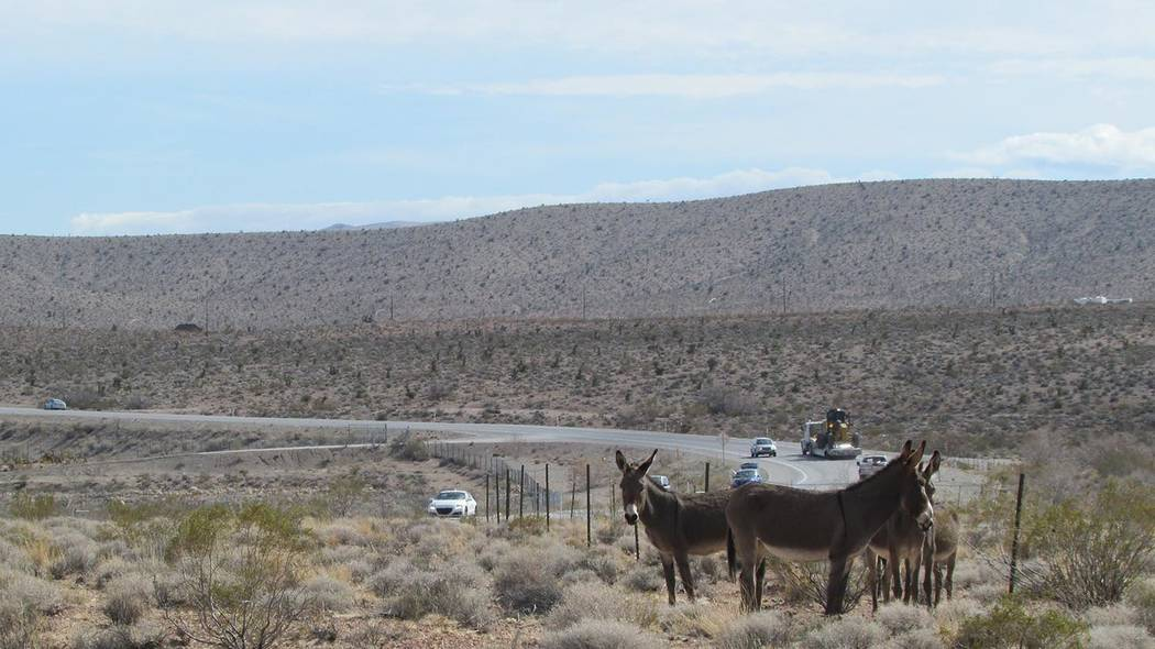Special to the Pahrump Valley Times The U.S. Bureau of Land Management provided this undated photo of burros in the area near the highway. The burros are crossing Nevada State Route 160 and travel ...