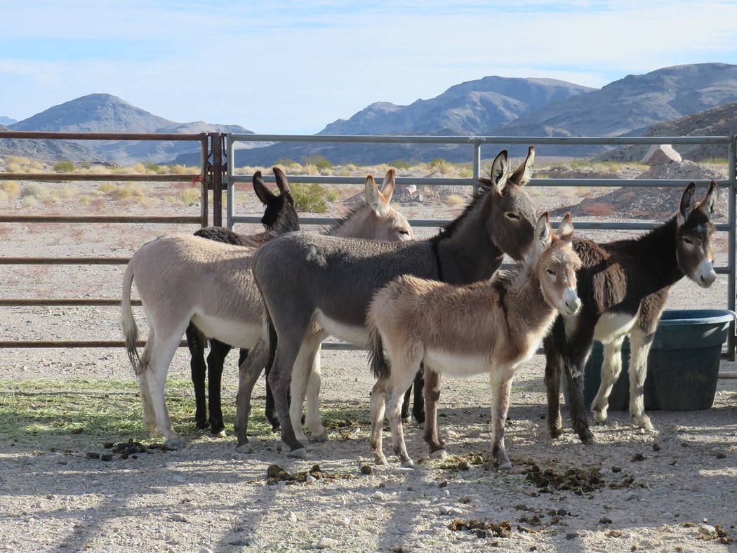 Special to the Pahrump Valley Times The BLM wild burro gather was conducted in response to safety concerns for the burros, along with the protection of wildlands and the public. State officials sa ...