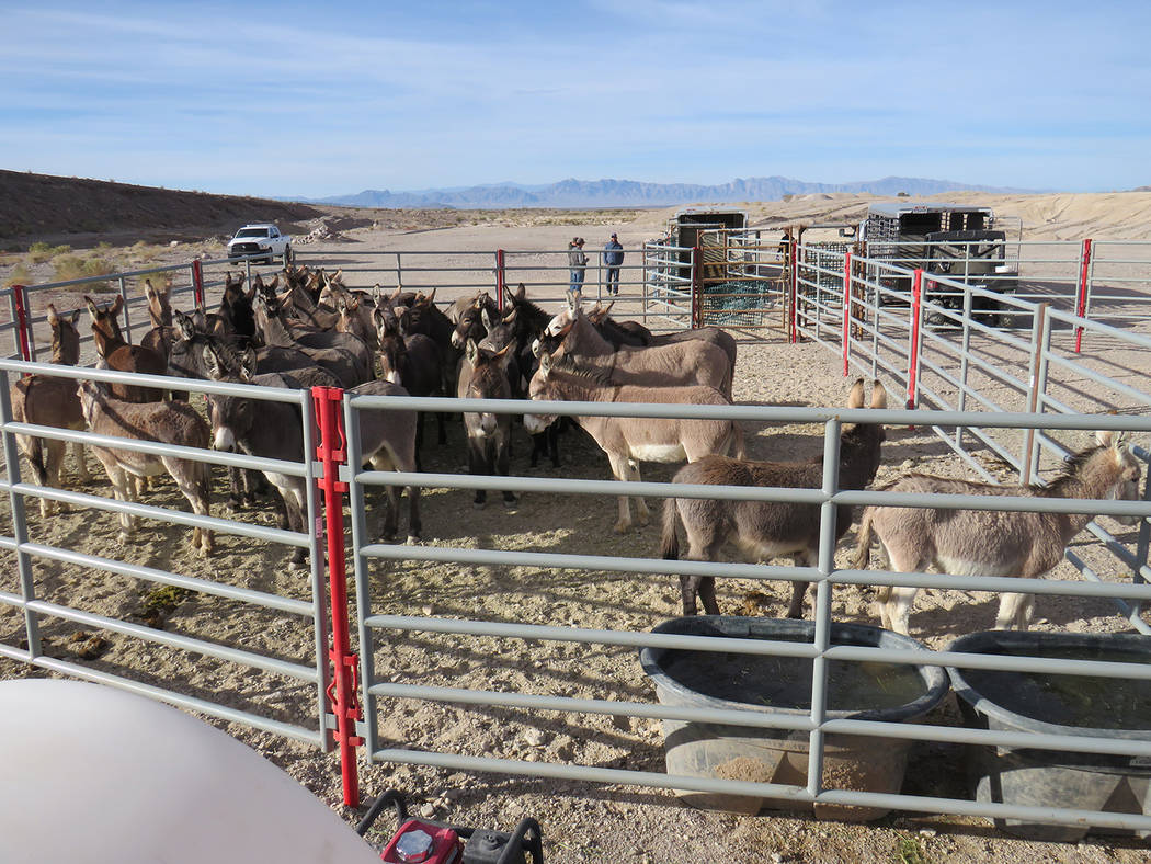 Special to the Pahrump Valley Times  The BLM wild burro gather was conducted in response to safety concerns for the burros, along with the protection of wildlands and the public. State officials s ...