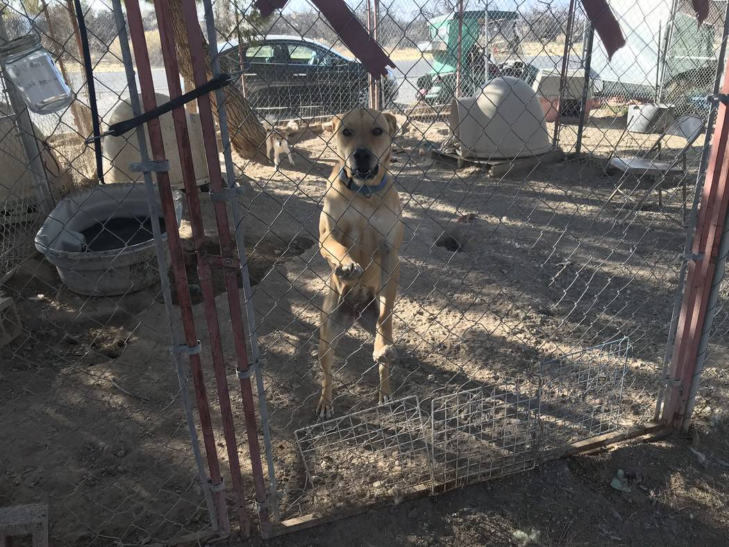 Jeffrey Meehan/Pahrump Valley Times Dozens of dogs, cats and peacocks are cared for at West Star Ranch in Pahrump. The animal rescue has increased the size of its thrift store operations, a vital  ...