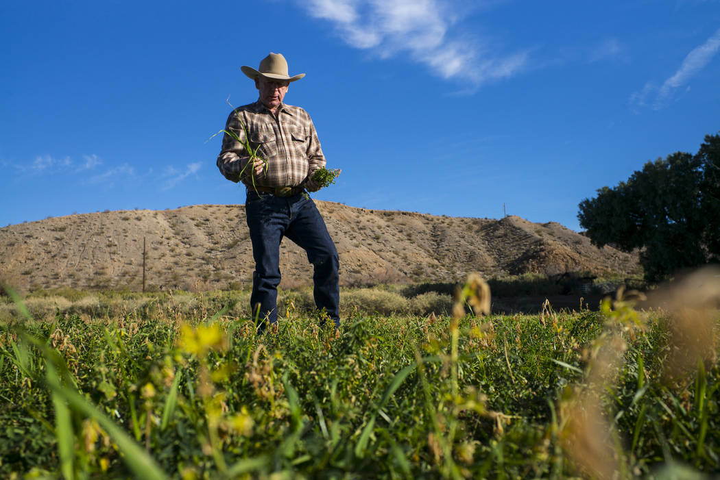 Cliven Bundy takes a look at alfalfa and ryegrass growing at Bundy Ranch in Bunkerville on Thursday, Jan. 11, 2018. Bundy was released from federal custody after charges against him were dismissed ...