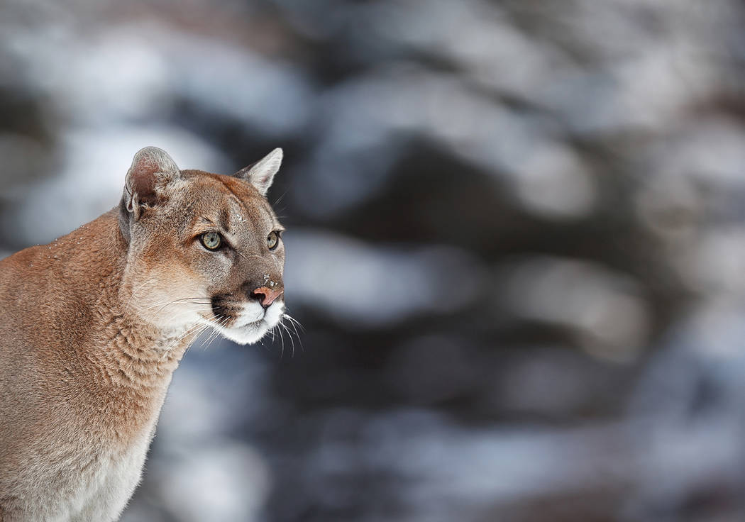 Thinkstock This file photo shows a mountain lion pose on a fallen tree. Nye County Animal Control Officer Levi Gregory said mountain lion sightings have been fairly common in the Pahrump Valley fo ...