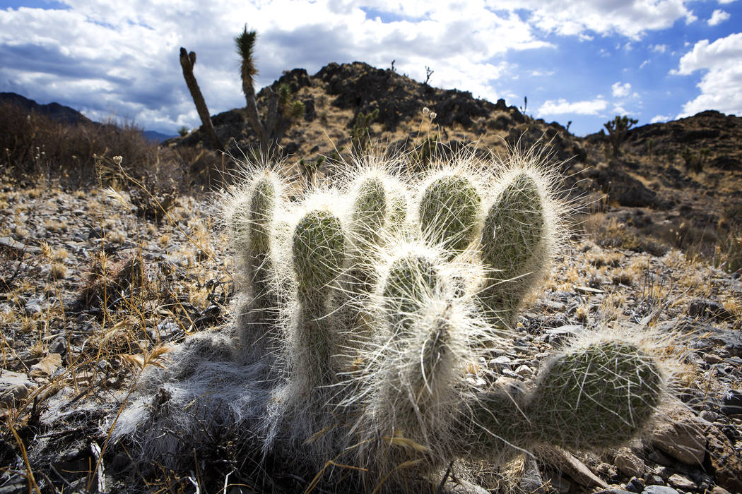 A cactus is seen, Friday, Sept. 30, 2016, in the Desert National Wildlife Refuge. (Las Vegas Review-Journal)