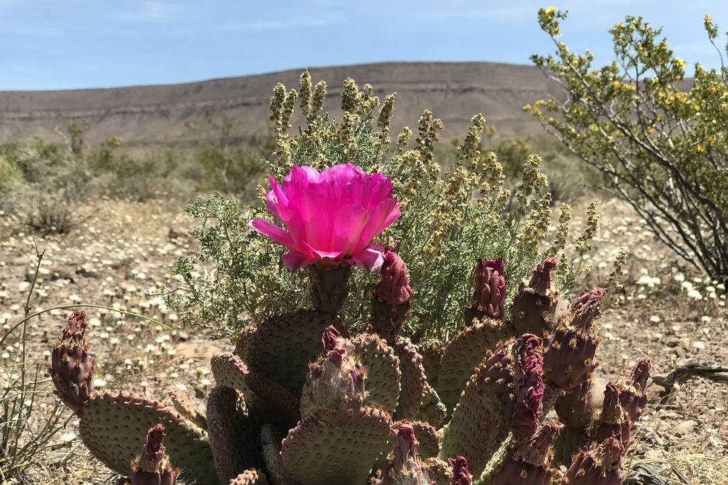 A cactus blooms May 3, 2017 on the west side of Yucca Mountain. (Keith Rogers/Las Vegas Review-Journal)