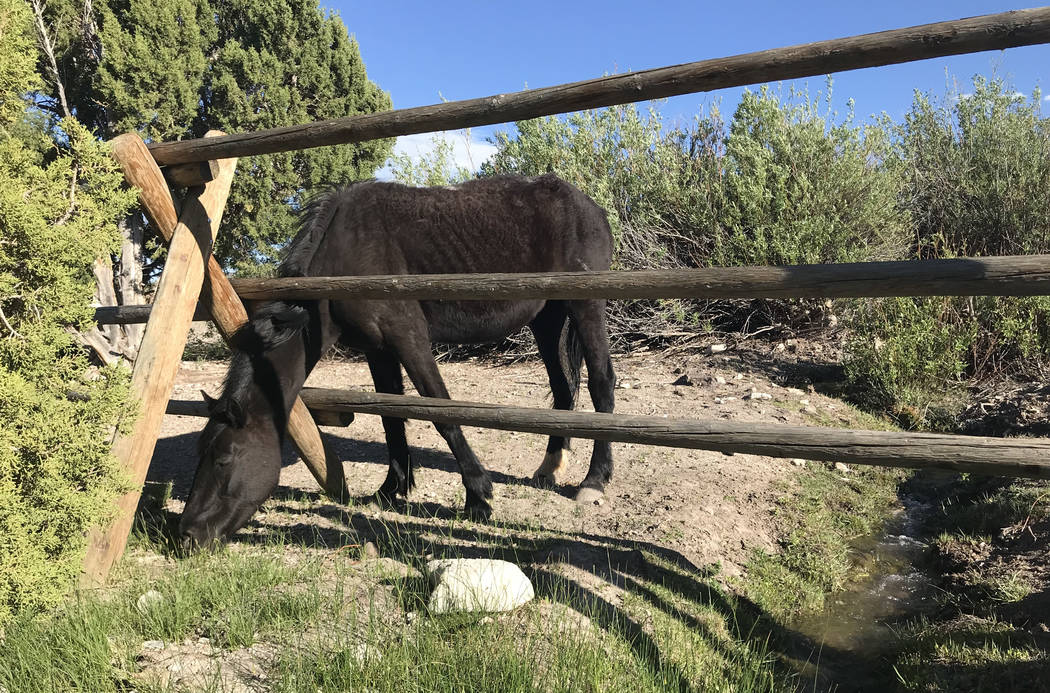 A wild horse eats grass through the fence at the Cold Creek Ranch Historic Site in the Spring Mountains Wednesday. Henry Brean Las Vegas Review-Journal