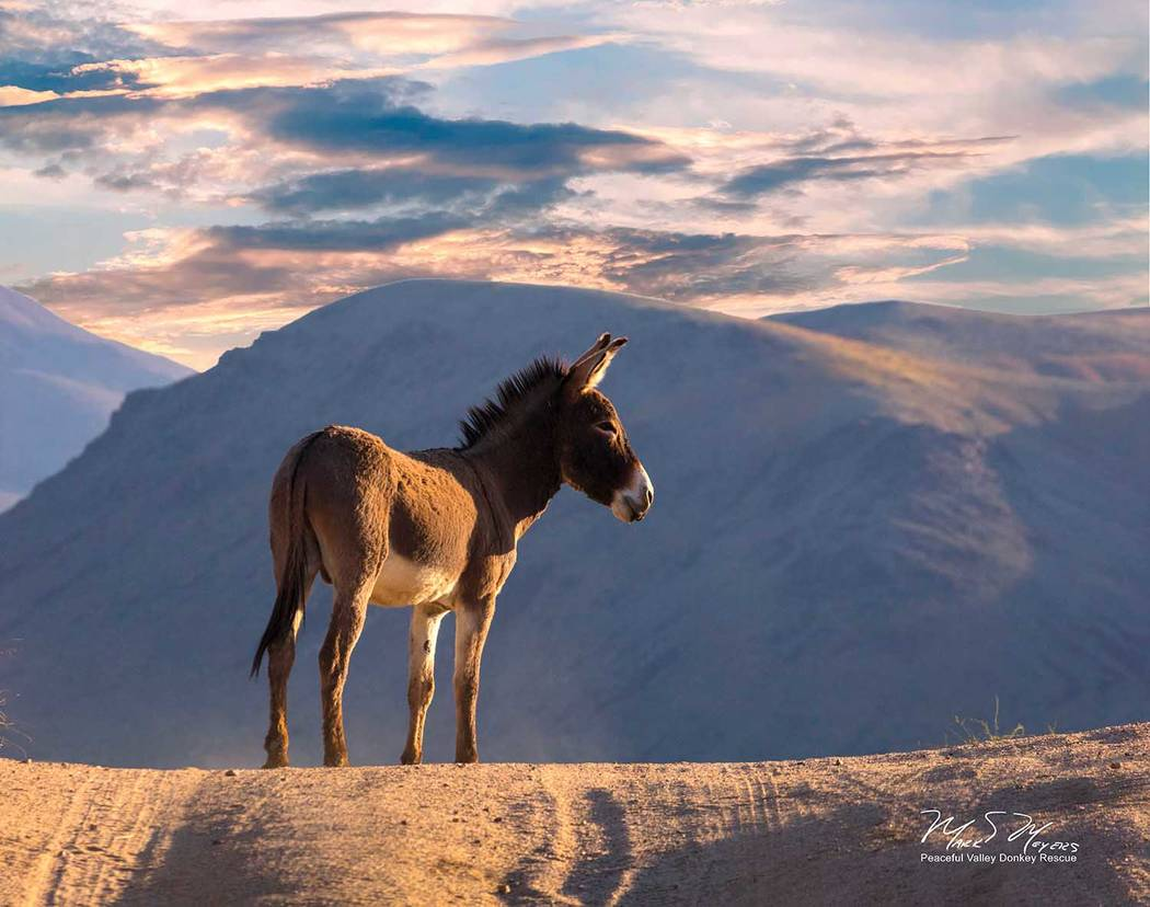 Mark Meyers/Peaceful Valley Donkey Rescue A wild burro stands in Death Valley National Park in an undated photo sent out by the National Park Service. The agency has entered into a five-year agree ...