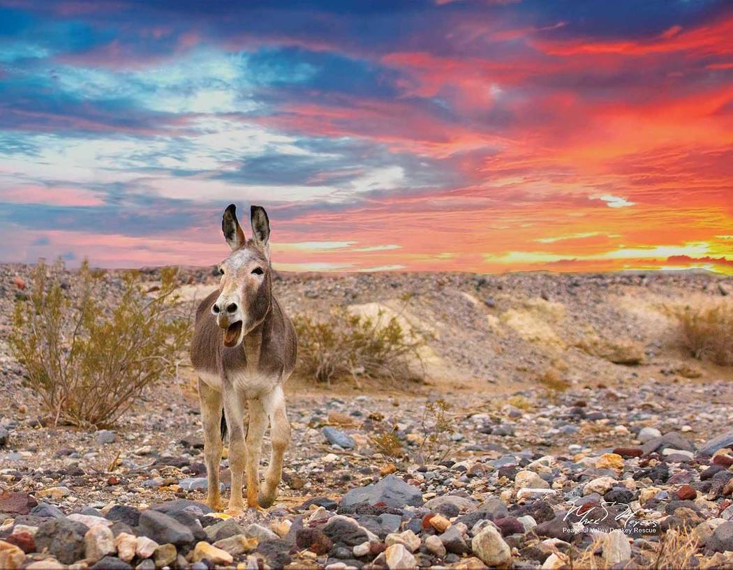 Mark Meyers/Peaceful Valley Donkey Rescue A wild burro is shown in this undated photo provided by the National Park Service. The animals are not native to Death Valley, but they have made themselv ...
