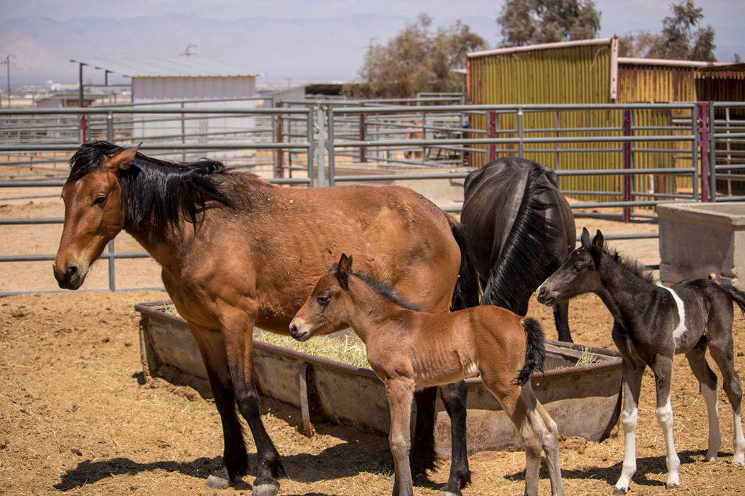 U.S. Forest Service Gathered wild horses have been transported to the Ridgecrest Regional Wild Horse and Burro Corrals in Ridgecrest California. This facility supports wild horse and burro managem ...