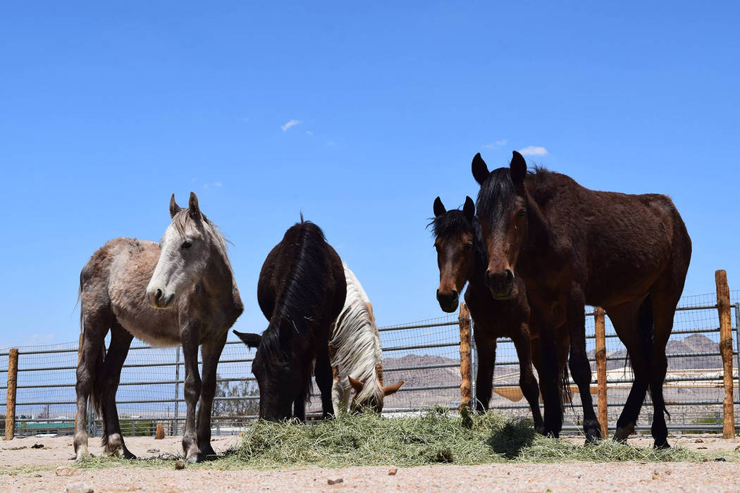 U.S. Forest Service Wild horses from the roundup are shown at the U.S. Bureau of Land Management holding facility in Ridgecrest, California. The Forest Service gathered 148 wild horses (72 studs, ...