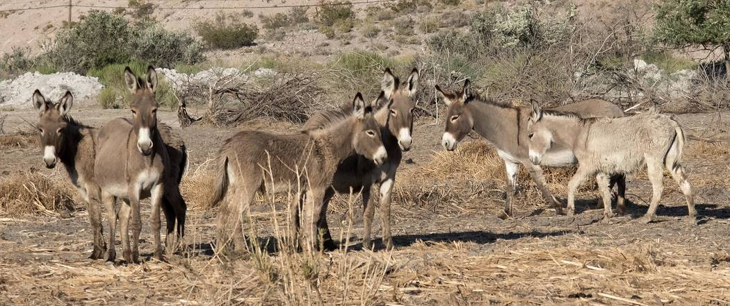 Richard Stephens/Special to the Pahrump Valley Times The allowable number of burros has to do with protection of native vegetation and desert tortoise habitat, as well as the ability of the desert ...