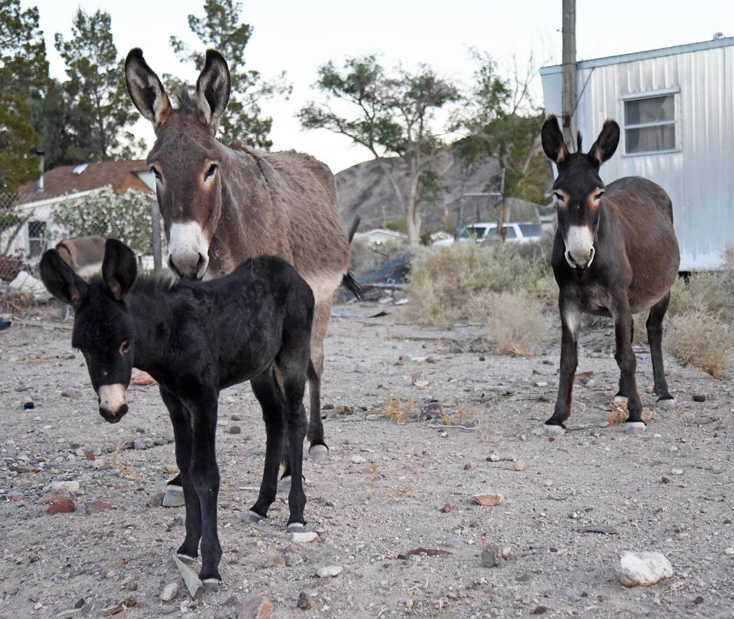 Richard Stephens/Special to the Pahrump Valley Times The maximum number of wild burros the management area is supposed to have is 91 and that the current estimated population of the animals is 700 ...